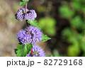 ダンギクの花と雨雫 82729168