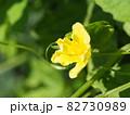 ゴーヤの黄色い雄花 82730989