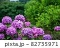 雨後の紫陽花(アジサイ) 82735971