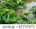 徳島県鳴門市のレンコン畑 82735972