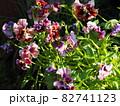 アンティークカラーのフリルパンジーが庭で咲いているところ 82741123