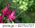 雨に濡れたセロシアの赤い花 82751727