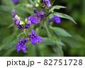 宿根ロベリアの花の蕾と雨雫 82751728
