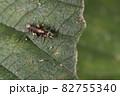 生き物 昆虫 ヨツボシクサカゲロウ、幼虫です。似た姿の仲間が多いですが頭の模様で見分けます 82755340