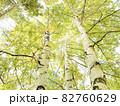北海道 白樺並木 82760629