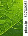 ヒョウタンの葉の葉脈 82788062