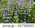 ダンギクの花畑 82788063