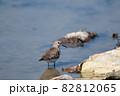 秋、ハス田で休息するオジロトウネン幼鳥 82812065