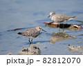 秋、渡り途中にハス田で休息するオジロトウネン達01 82812070