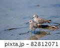 秋、渡り途中にハス田で休息するオジロトウネン達02 82812071