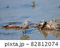 秋、ハス田に飛来したオジロトウネン成鳥 82812074