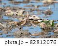 秋、ハス田で採餌するエリマキシギ 82812076
