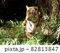 多摩動物公園の虎 (東京) 82813847
