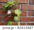 庭先の咲いたコットン 82813887