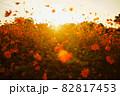 夕焼けの空に舞うコスモス 82817453