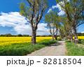 【青森県横浜町】北国の春、下北半島では菜の花が満開 82818504