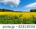 【青森県横浜町】北国の春、下北半島では菜の花が満開 82818508