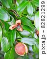 椿の実がはじけて見える種 82821299