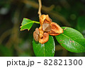 椿の実がはじけて中に見える種 82821300