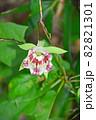 山野で釣鐘型の花が咲く蔓性多年草ツルニンジン 82821301