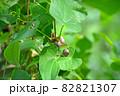 秋に山芋の蔓の付け根につくムカゴ 82821307