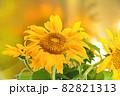 夏に元気に咲く大輪の黄色いヒマワリの花 82821313