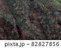 【北海道上富良野町】終わりを迎えた十勝岳の紅葉とダケカンバ 10月 82827856