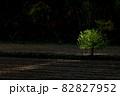 【北海道美瑛町】朝日のスポットライトを浴びる一本木 10月 82827952