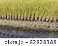 収穫中の田んぼ(秋、日本) 82828388