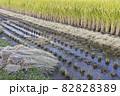 収穫中の田んぼ(秋、日本) 82828389