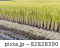 収穫中の田んぼ(秋、日本) 82828390