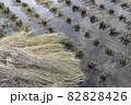 収穫後の田んぼ、稲穂を切った跡(秋、日本) 82828426