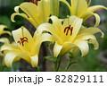 満開の黄色のユリ 82829111