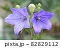 青いキキョウ 82829112