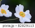 秋明菊のアップ 82829113