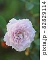バラ リベルラのアップ 82829114