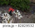 リコリスの花とクロアゲハ蝶 82829532