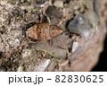 生き物 昆虫 クリシギゾウムシ、メス。体長は一センチ強、口吻は一センチ弱。薄茶色に濃色の帯 82830625