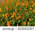 キバナコスモスの花畑 82840267