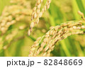 秋の稲 82848669
