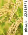 秋の稲 82848671