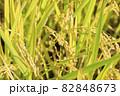 秋の稲 82848673