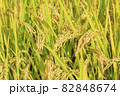 秋の稲 82848674