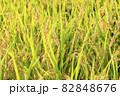 秋の稲 82848676