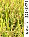秋の稲 82848678