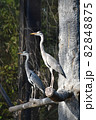 木にとまる2羽のサギの横姿 82848875