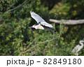 空中を飛ぶ一羽のゴイサギ 82849180