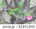 砂漠のバラの若葉と花 82851945