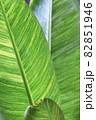 旅人の木の葉の葉脈 82851946
