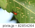 生き物 昆虫 チャイロチョッキリ、六ミリ前後で目立つ色味。警戒心が強くすぐに飛んで逃げます 82854264